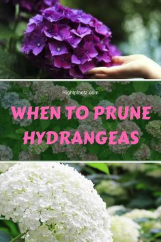 When To Prune Hydrangeas is part of Beautiful flowers garden - Hydrangeas are some of the most treasured shrubs in any garden To understand when to prune Hydrangeas, one must first know what type of Hydrangea they have When To Prune Hydrangeas, Types Of Hydrangeas, Pruning Hydrangeas, Hydrangea Colors, Hydrangea Care, Planting Flowers, Hydrangea Flower, Pruning Plants, Flower Gardening