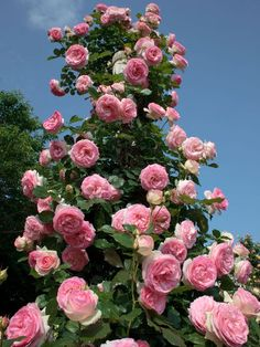 Famous Roses from Lyon: 'Pierre de Ronsard' - Marie Louise Meilland Beautiful Rose Flowers, Beautiful Gardens, Pink Poppies, Pink Roses, Eden Rose, California Garden, Rose Trees, Garden Images, Rose Bush