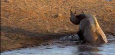 بالفيديو: أنثى وحيد القرن تتغلب على 3 أسود جائعة