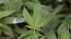Legalizar la marihuana reduciría en 26% las ganancias de narcos