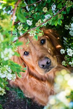 great-dogs:  by Riley Mai Photography / Golden Retriever / Pet Photography