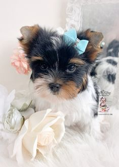 yorkie-225-a Micro Teacup Yorkie, Teacup Yorkie For Sale, Yorkie Puppy For Sale, Toy Yorkie, Biewer Yorkie, Wire Fox Terrier Puppies, Toy Puppies, Toy Yorkshire Terrier, Puppy Store