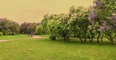 Anna Matveeva Garden Lilac Spring Vintage Photographers                                     в городе. Photograph - Garden Lilac Spring Vintage by Anna Matveeva  #AnnaMatveeva #green #spring #FineArtPhotography #ArtForHome #FineArtPrints