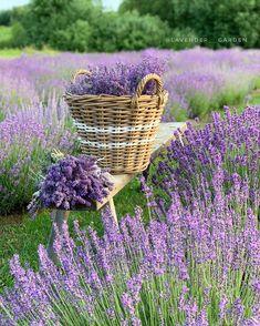 Lavender Cottage, French Lavender, Lavender Fields, Lavender Aesthetic, Purple Aesthetic, Flower Farm, My Flower, Shades Of Violet, Spring Aesthetic