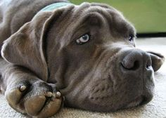 Does your dog suffer from separation anxiety? It's more common than you think. Here's what to do to fix dog separation anxiety! Giant Dog Breeds, Giant Dogs, Big Dogs, Dogs And Puppies, Doggies, Corgi Puppies, Dog Separation Anxiety, Dog Anxiety, Chien Cane Corso