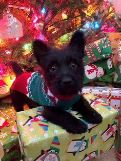 Scottie puppy Scottie Dogs, Puppies, Animals, Cubs, Animales, Animaux, Scottish Terrier, Animal, Animais
