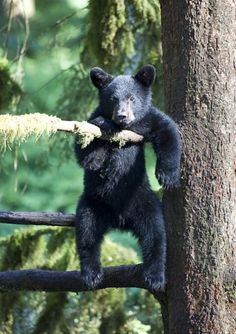 Staying Positive in Life Black Bear Cubs - Who's Your Daddy? Animals And Pets, Baby Animals, Funny Animals, Cute Animals, Amazing Animals, Animals Beautiful, Bear Cubs, Panda Bear, Mundo Animal