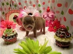 This little pig is so cute!