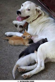 Bulldog adopts litter of orphaned cats. She was raised with 'Kitty Kitty' who gave birth to kittens, around the same time she gave birth to puppies. After Kitty was hit by a car, Molly took in the kittens as her own! Animals And Pets, Baby Animals, Funny Animals, Cute Animals, Wild Animals, I Love Dogs, Cute Dogs, Tier Fotos, Pet Birds