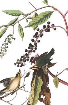 Worm eating Warbler | John James Audubon's Birds of America