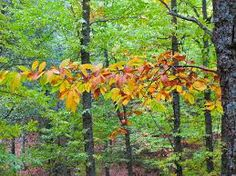 caducifolio que todavía quedan de las antaño grandes extensiones boscosas que cubrían el ...