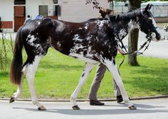 Dominant white - Thoroughbred mare Painted Ballerina