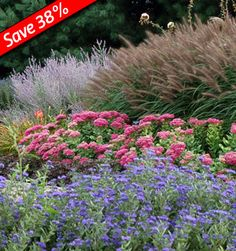 Caryopteris Grand Bleu, Sedum Autumn Joy, Perovskia, Pennisetum Red Head Collection