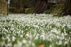 Snowdrops in Chelves
