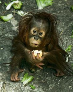Adorable Baby Orangutan