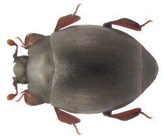 Family: Histeridae Size: 3 mm Origin: Europe Ecology: in nests of ants, especially Formica rufa Location: Germany, Bavaria, Karlsburg leg.det. A.Skale, 2005 Photo: U.Schmidt, 2009