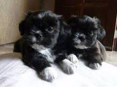 Resultado de imagem para lhasa preto Shih Tzus, Heart For Kids, Animals And Pets, Puppy Love, Pugs, Kittens, Puppies, Pretty, Cute Pictures