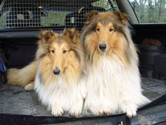 The only thing better than a collie dog is two collie dogs.