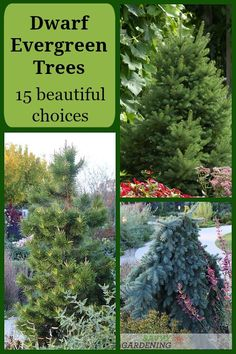 Perennial Flower Gardening - 5 Methods For A Great Backyard Dwarf Evergreen Trees: 15 Beautiful Choices For Your Garden. You Can't Beat These Beautiful Evergreen Trees For Their Stunning Good Looks, Cold Tolerance, And Ease Of Care. Evergreen Trees Landscaping, Dwarf Evergreen Trees, Evergreens For Shade, Evergreen Landscape, Evergreen Garden, Landscaping Plants, Shade Evergreen Shrubs, Evergreen Trees For Privacy, Privacy Trees