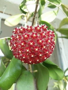 Unique Flowers, Exotic Flowers, Love Flowers, Beautiful Flowers, Blooming Flowers, Hoya Plants, Potted Plants, Tall Indoor Plants, Garden Theme