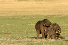 Baby Elephants by Radha Rangarajan