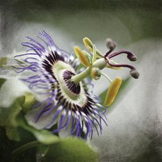 Flower Photography Purple Passion Flower by AllysonBrownPhoto