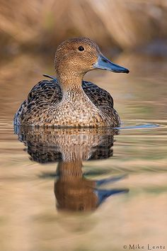 Pintail hen by Mike Lentz