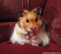 Syrian Hamster by AnimalPetFans