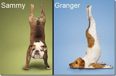 funny interesting yoga dog puppy pictures (11)