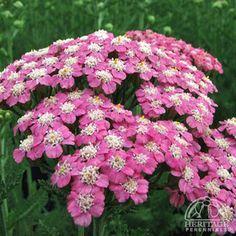 Achillea millefolium 'Little Susie'