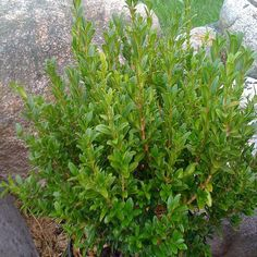 Proven Winners Wedding Ring ColorChoice Boxwood Buxus Sempervirens