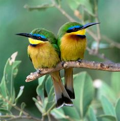Little bee-eater. Kenya ♥