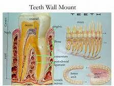 human teeth names - Saferbrowser Yahoo Image Search Results Human Teeth, Tooth Enamel, Anatomy Models, Image Search, School Stuff, Nursing, Names, Enamel, Frosting