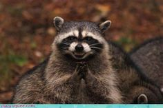 """Rocky Raccoon, he's been scheming like mad..."""