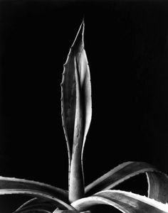 Agave by Imogen Cunningham