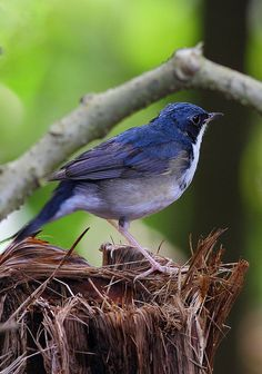 Siberian Blue Robin (Luscinia cyane) by Zakir Hassan on Flickr.