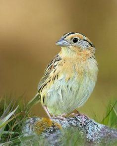 Le Conte's Sparrow.