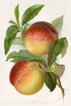 """Peaches - 1.Royal George, 2.Barrington"" bold chromolithographic fruit print published in Thompson's Gardener's Assistant, about 1895."