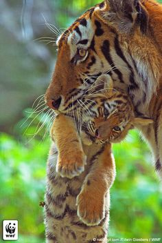Siberian Tiger Mother and Cub    Wild tiger numbers are at an all-time low. The largest of all the Asian big cats may be on top of the food chain and one of the most culturally important and best-loved animals, but they are also vulnerable to extinction. There may be as few as 3,200 tigers left in the wild, and all are threatened by poaching and habitat loss.