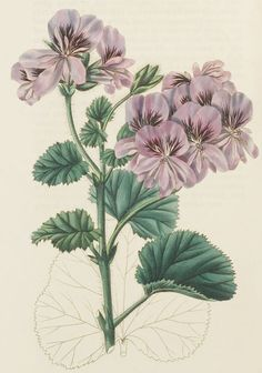 Pelargonium implicatum illustration from Sweets