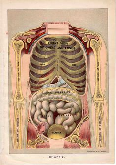 1901 human anatomy original antique medical organs print layers of the body, via Etsy.