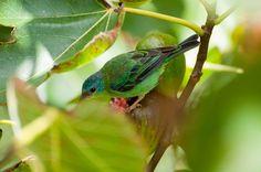 Foto saí-azul (Dacnis cayana) por Ivan Angelo | Wiki Aves - A Enciclopédia das Aves do Brasil