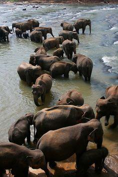 Pinnewala, Sri Lanka - one elephant is simply not enough!