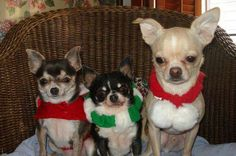 """Chihuahua Hope you're doing well.From your friends at phoenix dog in home dog training""""k9katelynn"""" see more about Scottsdale dog training at k9katelynn.com! Pinterest with over 20,800  followers! Google plus with over 170,000 views! You tube with over 500 videos and 60,000 views!! LinkedIn over 9,300 associates! Proudly Serving the valley for 11 plus years! Can now follow us  on instant-gram ! K9katelynn"""