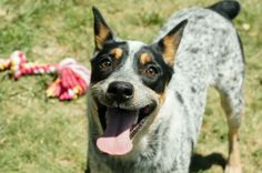 Meet Gemini* A113003 a Petfinder adoptable Australian Cattle Dog (Blue Heeler) Dog | Plano, TX | VIP: Gemini is a loveable youngster who is about 10 months of age. She is friendly with children...