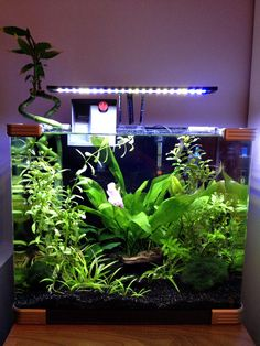 Betta nano tank, fully planted litre tank, housing one HMPK (halfmoon plakat) betta, three otocinclus and a colony of red cherry shrimp