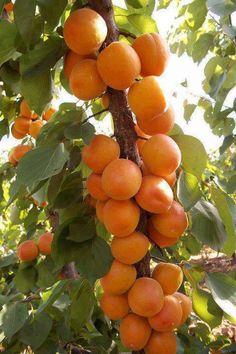 Apricots [Prunus armeniaca]