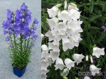 Zvonček broskyňolistý -Modrý alebo biely -50semien