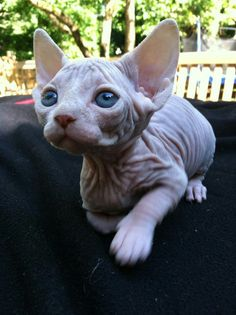 Look at this sphynx cat's blue eyes !