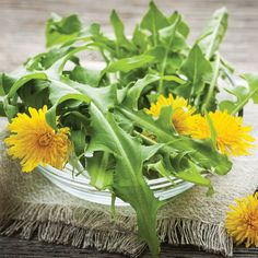 The Benefits of Dandelions: From Cultivation to Cooking - Gardening - Mother Earth Living